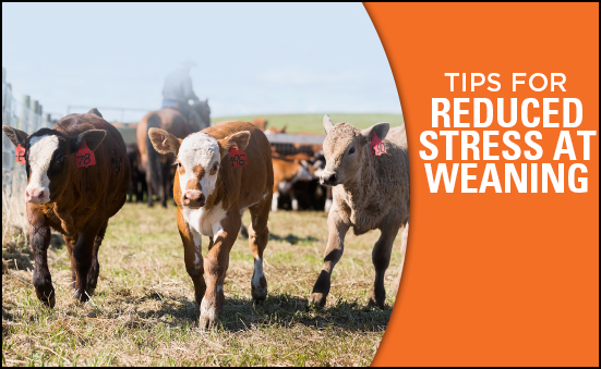 Tips for Reduced Stress at Weaning