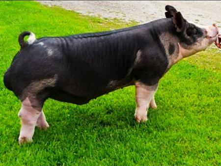 Doug Albright, Albright Swine Farm | Michigan
