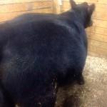 Bloated Steer