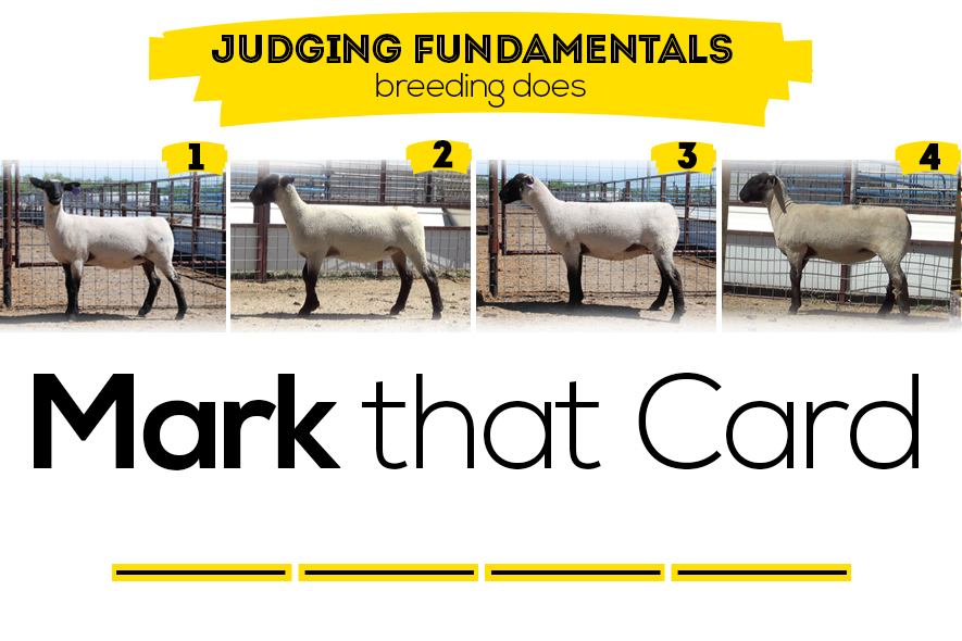 breeding ewe judging class featured image