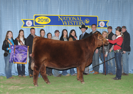 NWSS Grand Champion Red Angus Paige Van Dyke Sure Champ