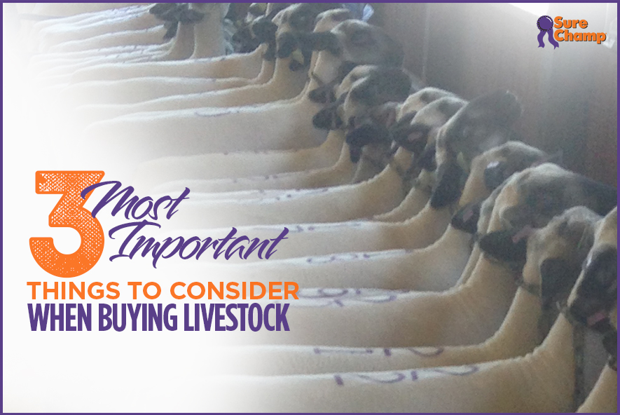 surechamp-buyinglivestock-featured-oct2016