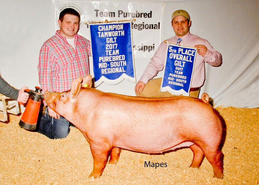 17-champion-tamworth-gilt-team-purebred-mid-south-gust-mitchem