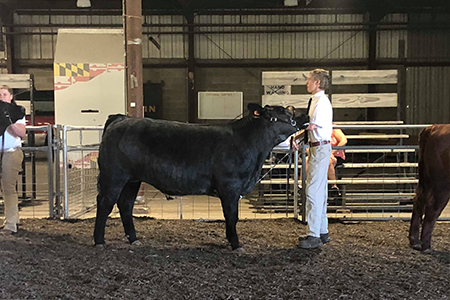 2018 Baltimore County 4-H Fair, Grand Champion Steer, Shown by Jordan Brown Test