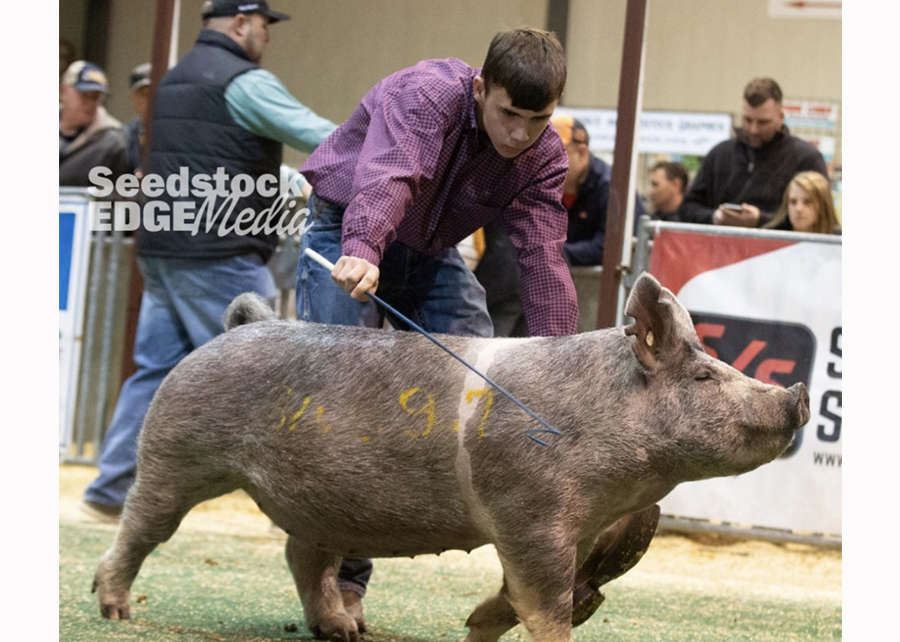 19 Winter Type Conference, Reserve Champion Crossbred Gilt, shown by Kalvin Hrutkay Champ