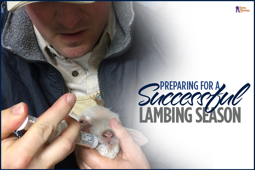 surechamp-lambing-featured-jan2016