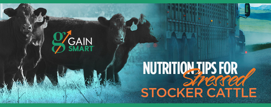 Nutrition Tips for Stressed Stocker Cattle