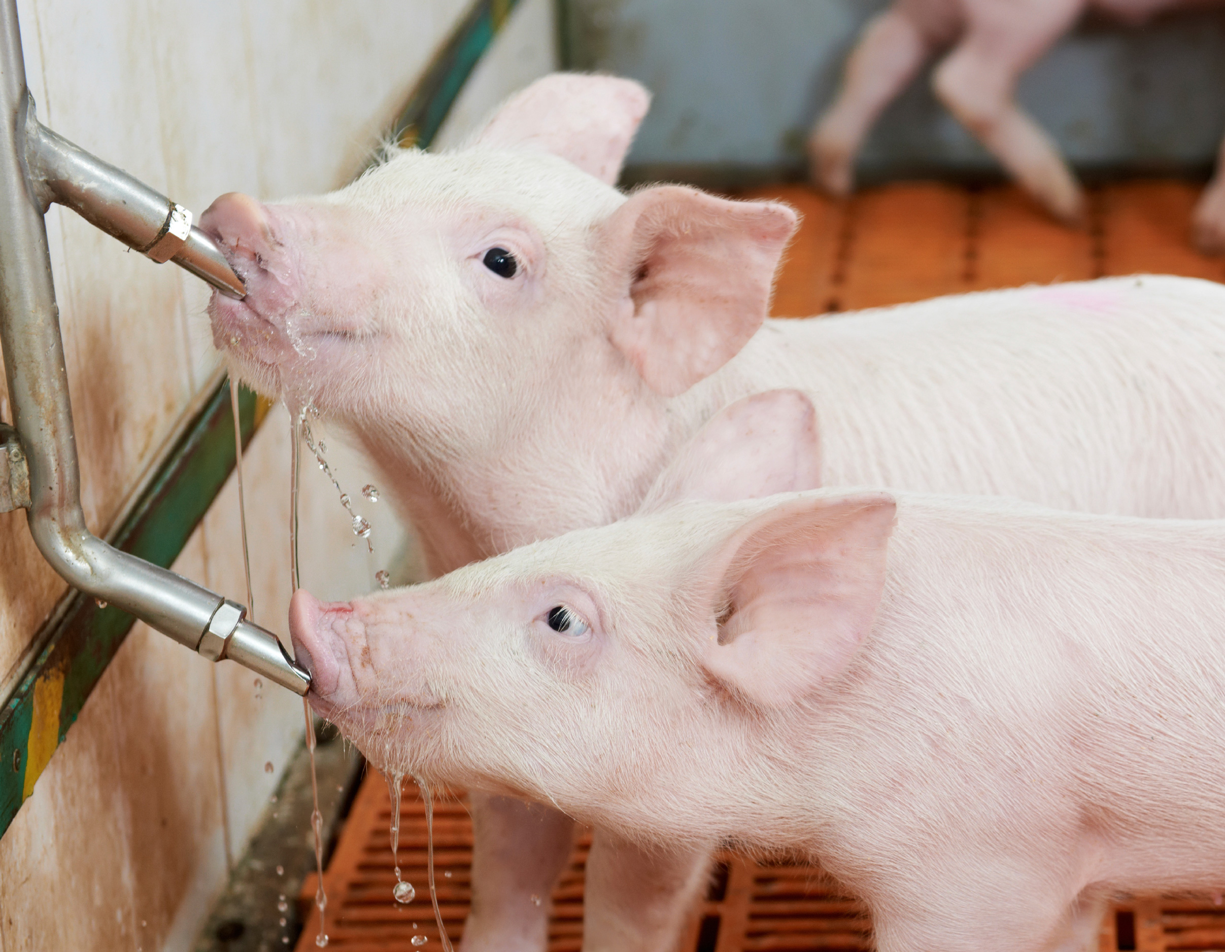 Piggies drinking