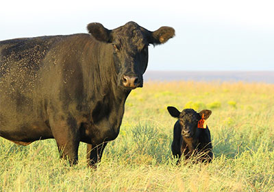 McCurry Angus cow and calf.