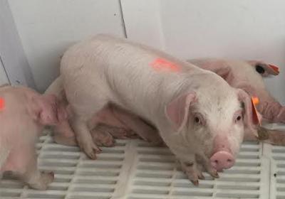 piglet-in-nursery