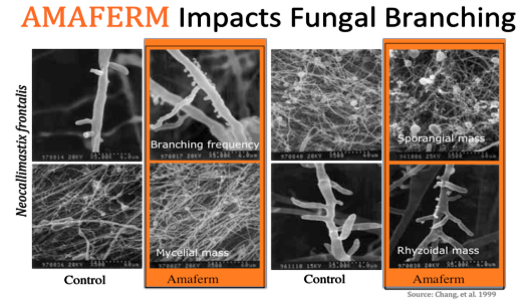 Amaferm Impacts Fungal Branching