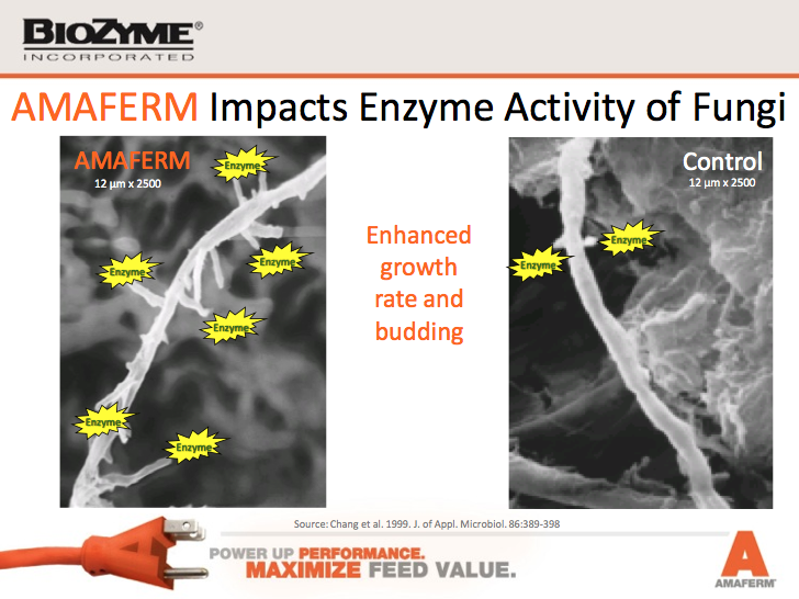 Amaferm impacts enzyme activity of fungi