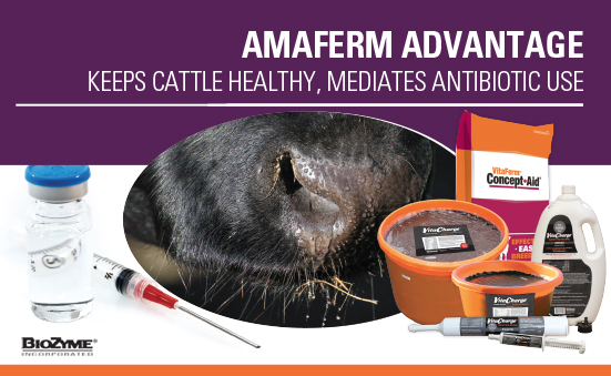 Amaferm Advantage Keeps Cattle Healthy and Mediates Antibiotic Use