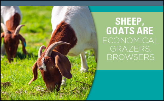 Sheep, Goats are Economical Grazers, Browsers
