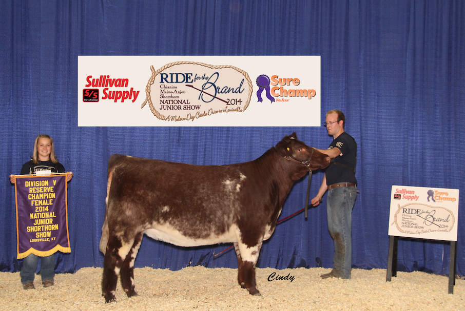 Division 5 Reserve Champion Shorthorn Heifer_Kyle Shoufler