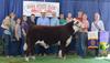 IA Hereford Bull