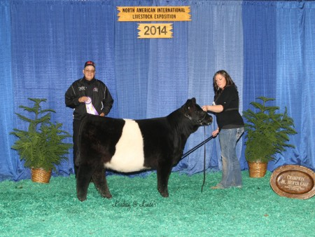 Belted Calf Champ