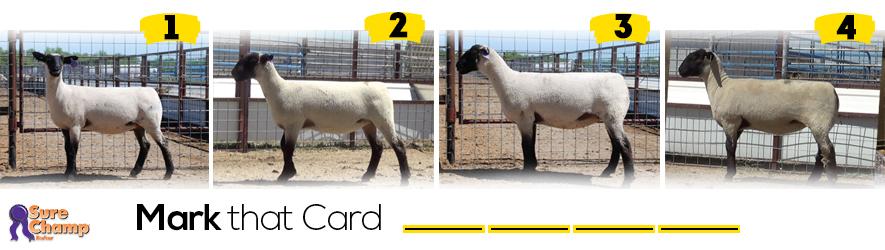 breeding ewe judging class header image