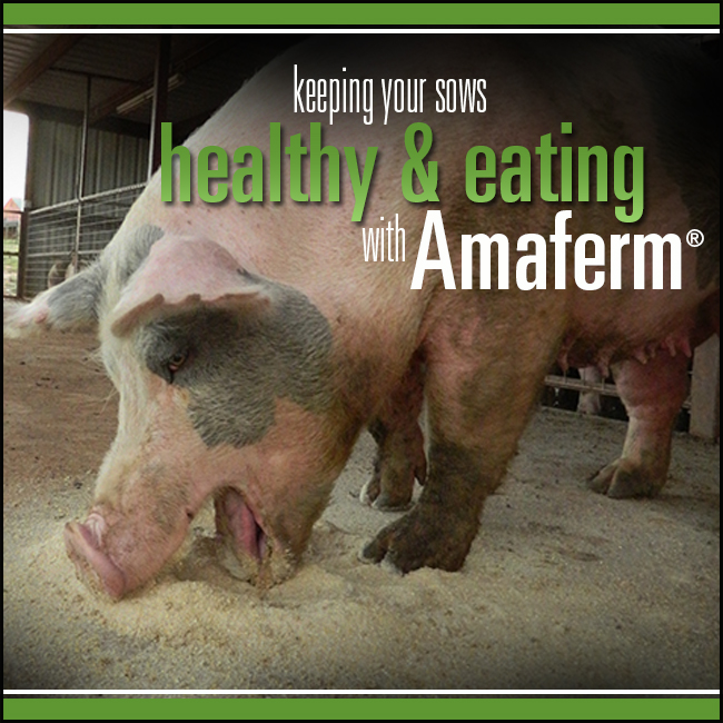 Keep your sows healthy