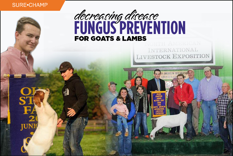Decreasing Disease :: Fungus Prevention for Sheep and Goats