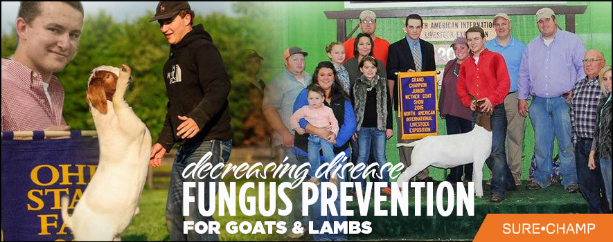 Decreasing Disease :: Fungus Prevention for Sheep and Goats - Sure Champ