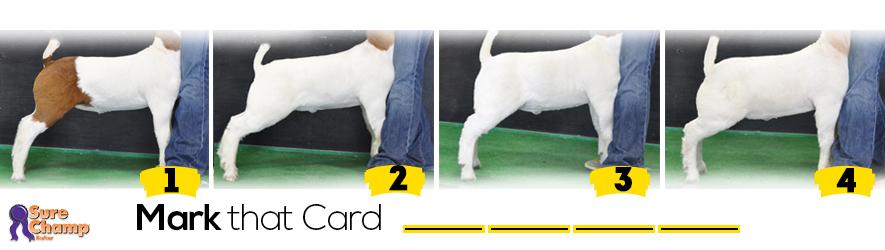 market goats judging class header