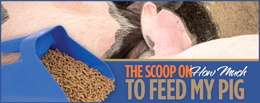 surechamp-feedpig-header-june2016