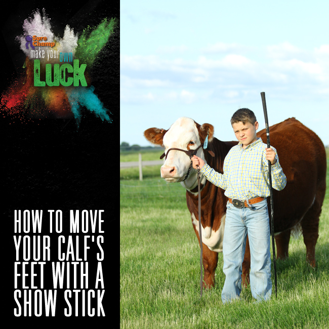 How Do You Move Your Calf's Feet With a Show Stick Square
