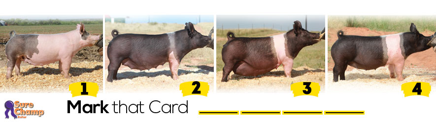 bred-sows-judging-class-header