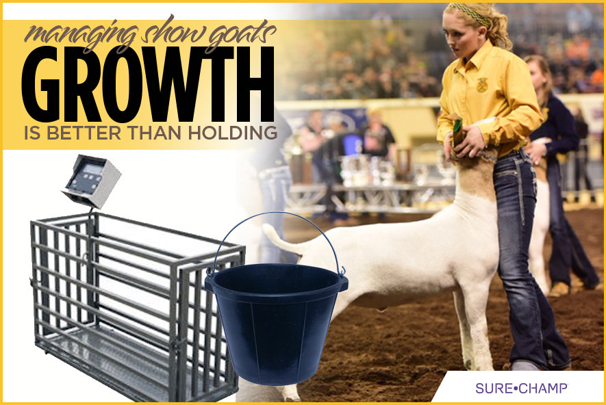 Managing Show Goats Growth is Better Than Holding - Sure Champ