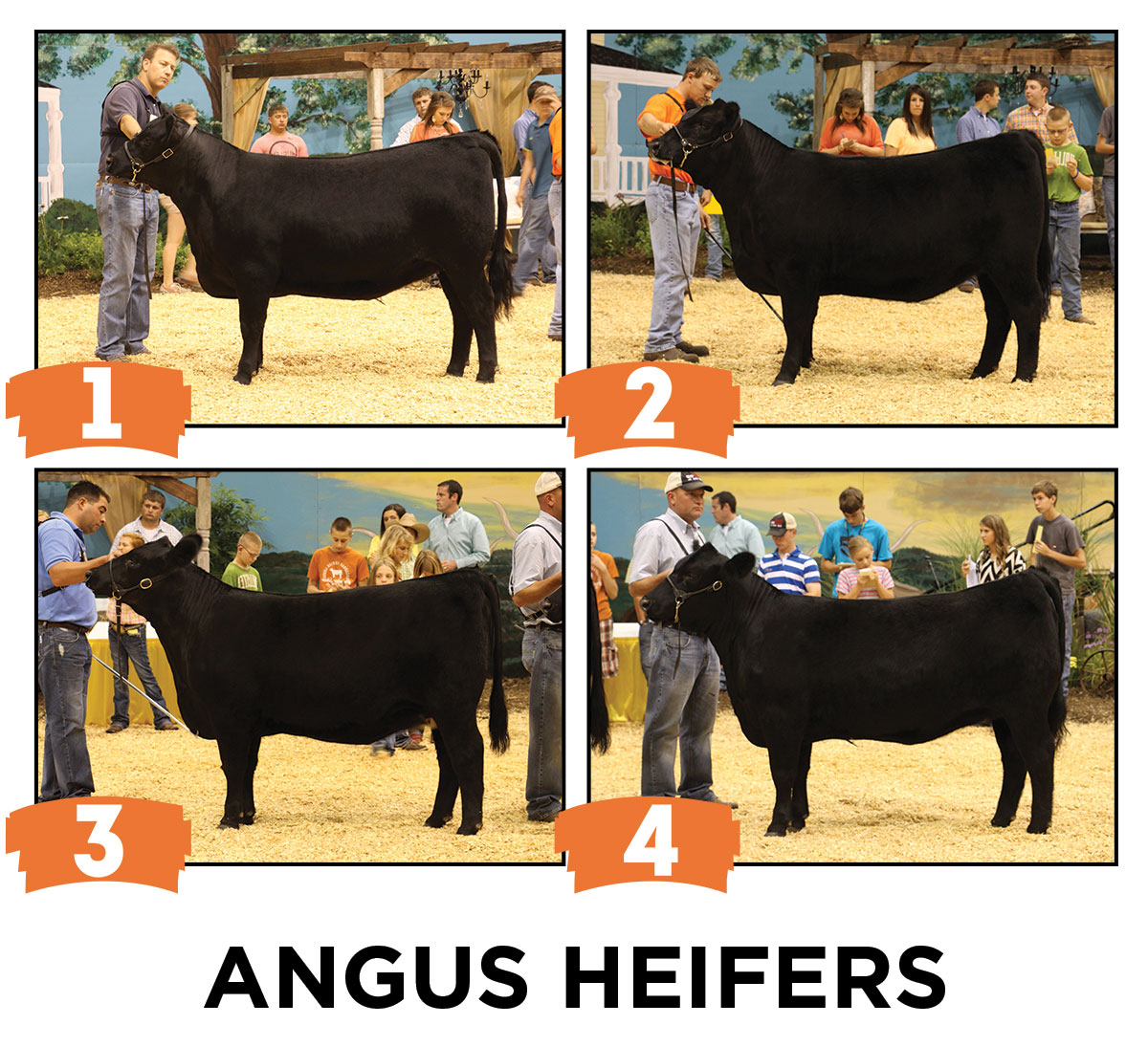 Sure Champ Angus Heifer Judging