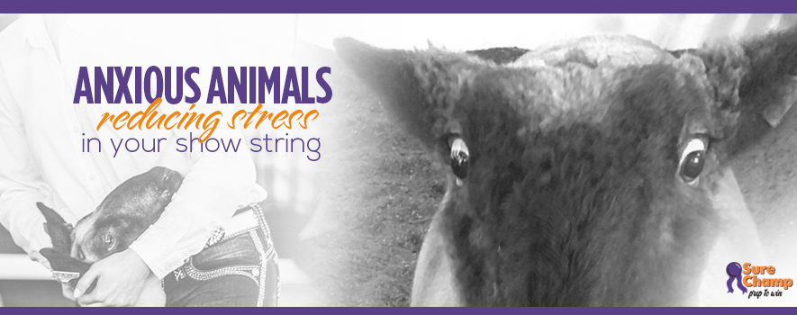 Anxious Animals :: Reducing Stress in Your Show Animals - Sure Champ