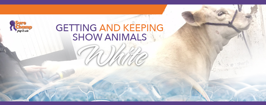 Getting and Keeping Show Animals White - Sure Champ