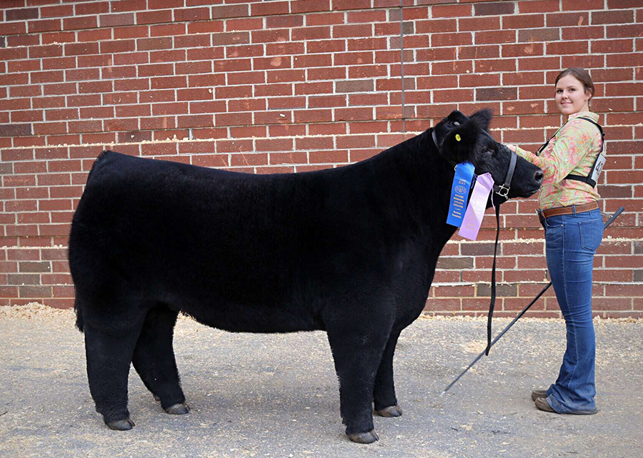18 Keystone International Livestock Exposition, Reserve Middle Weight market steer, Shown by Alli Jobe champ