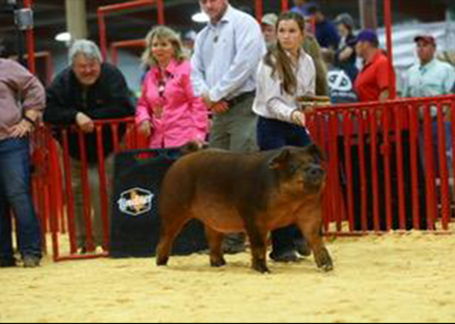 18 Fort Worth Stock Show, Reserve Breed Champion Duroc, Shown by Mallory LeDoux Champ