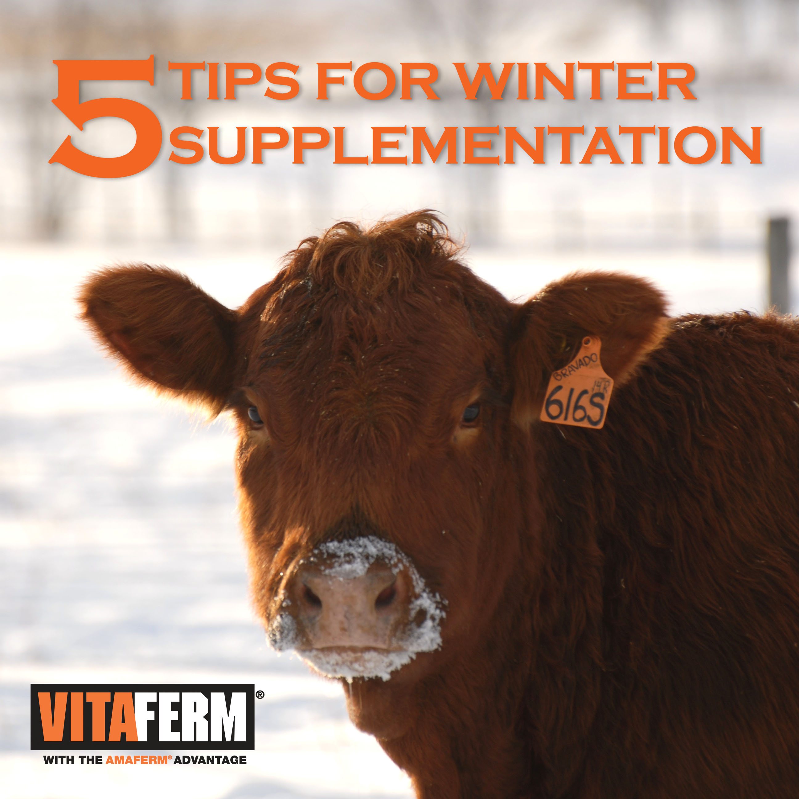 Tips for Winter Supplementation in Beef Cattle