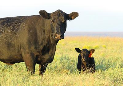 McCurry Angus cow and calf.