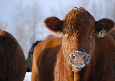 biozyme-cow
